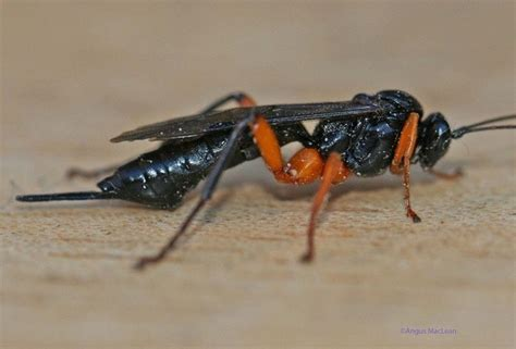 What Insect Is This It Looks Like Orchid Dupe Wasp But I