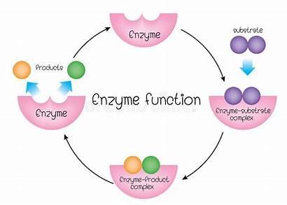 Enzimi Enzymes Funzione Degli Diagram Enzyme Fonction