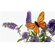 Animals Sipping Nectar From A Butterfly Bush Picture Nr