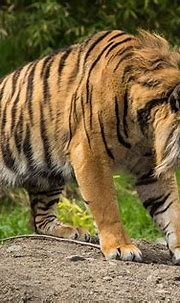 🔥 Fierce-looking Sumatran Tiger with partially developed ...