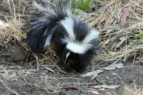 Skunk Control Why Do Skunks Spray And Other Interesting