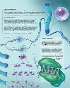 SCOTT LEIGHTON, CMI Telomeres are repetitive, noncoding ...