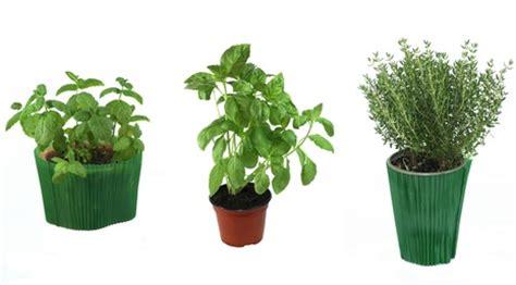 la culture des herbes aromatiques en pot