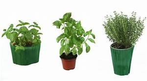 Herbes Aromatiques En Pot : la culture des herbes aromatiques en pot ~ Premium-room.com Idées de Décoration