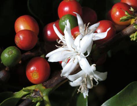 flor de café | pannello fiori - flower bar panel ...