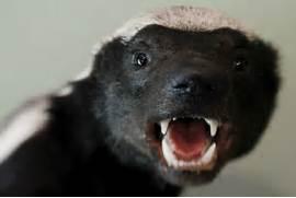 Related Keywords   Sug...Honey Badger Vs Mongoose