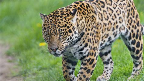 Jaguar Animal Wallpaper - white jaguar animal wallpaper
