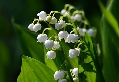 lily   valley auntie dogmas garden spot