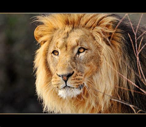 Flickr Lion Tambako The Jaguar Waking Times
