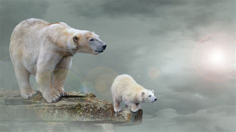 wallpaper polar bears polar bear cub  animals