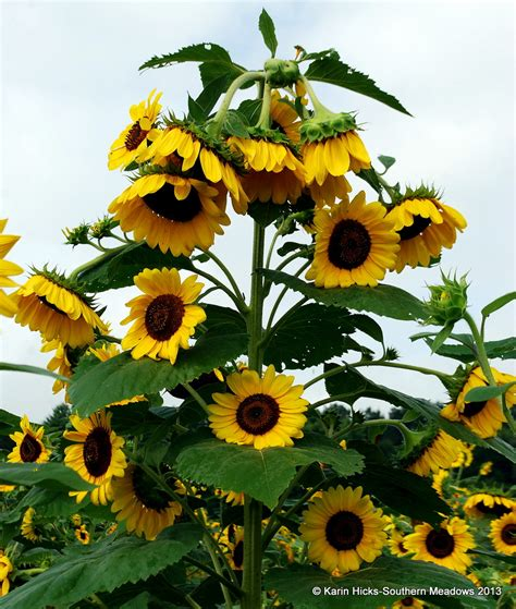 can i grow sunflowers in pots southern celebrating sunflowers