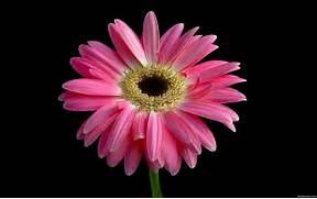 Flowers Wallpapers  HD...