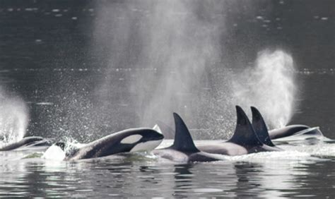 2016 Has Been The Deadliest Year For Orca Whales