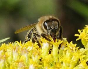 Wie Machen Bienen Honig : so entsteht honig honig und bienen erkl rt ihnen was ~ Whattoseeinmadrid.com Haus und Dekorationen