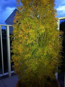 Thuja Smaragd Braun : thuja smaragd pilz oder frostbefall pflanzenkrankheiten ~ Lizthompson.info Haus und Dekorationen