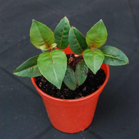 fuchsien überwintern im topf fuchsien experten tipps zum kauf pflanzen pflegen plantura