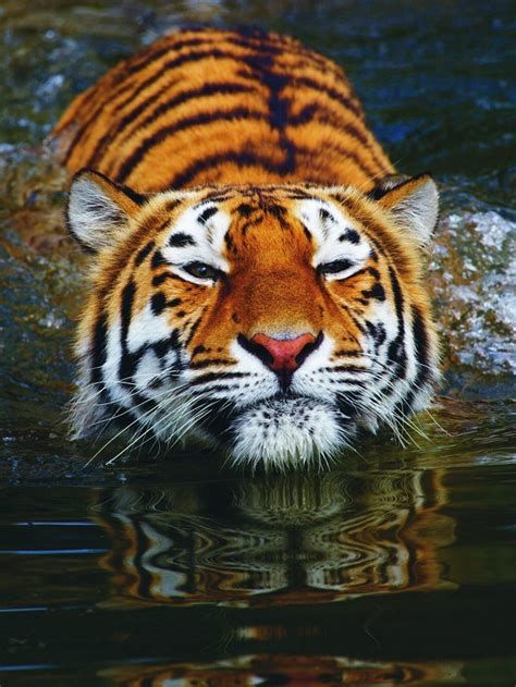 Why Can Tigers Swim?  How It Works