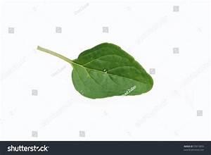 Oregano Leaf Stock Photo 55013893 : Shutterstock