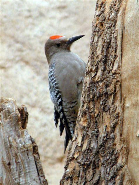 gila woodpecker utah s hogle zoo