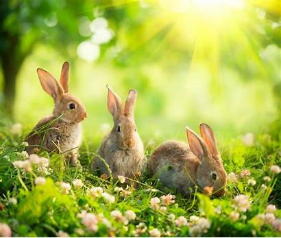 Rabbits Dream Am Dreaming Rabbit Meaning Easter
