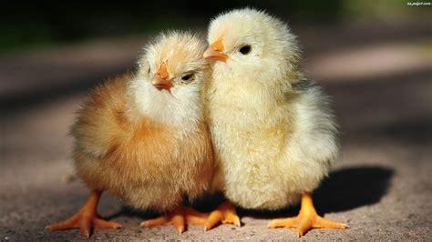 kurczaczki dwa przytulone na pulpit