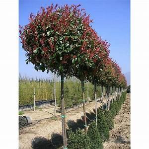 Red Robin Hochstamm : photinia x fraseri red robin photinia hybride red robin ~ Michelbontemps.com Haus und Dekorationen