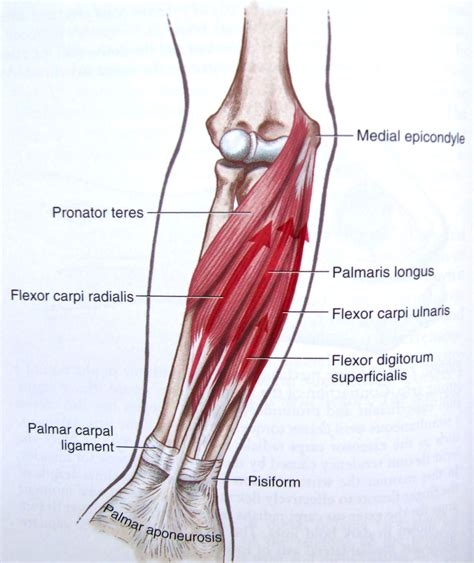 Tendons are delicate groups of connective tissue that append muscles to bones and enable joints to flex and broaden. human forearm tendon detail - Google Search | SDP Tendons ...