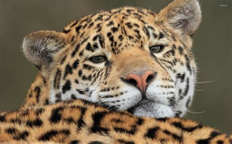 Jaguar Animal Wallpaper - gazing jaguar up wallpaper animal wallpapers 48754