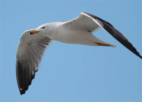 Il Gabbiano Uccello il gabbiano reale mediterraneo aknews