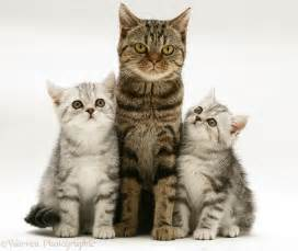 Brown tabby cat with silver tabby kittens photo - WP14782