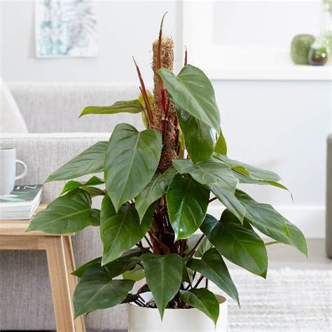 Buy Philodendron Philodendron Erubescens Red Emerald