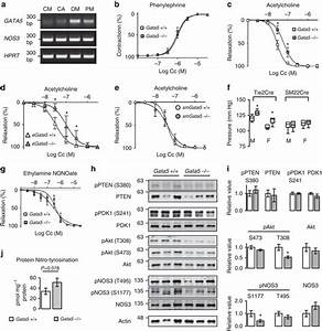 Endothelial Gata5 Is Responsible For Increased Blood