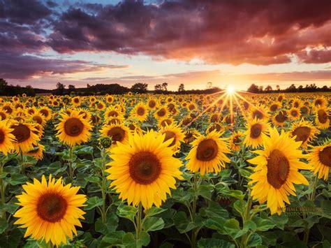 sunflowers   sunset wallpaper preview wallpapercom