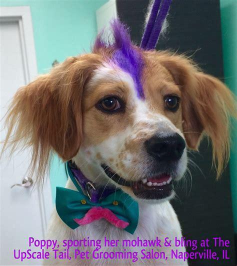 llewellin setter dog  purple mohawk  upscale tail