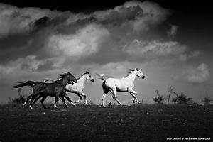 Equine Black and White Photography - 54ka [photo blog]