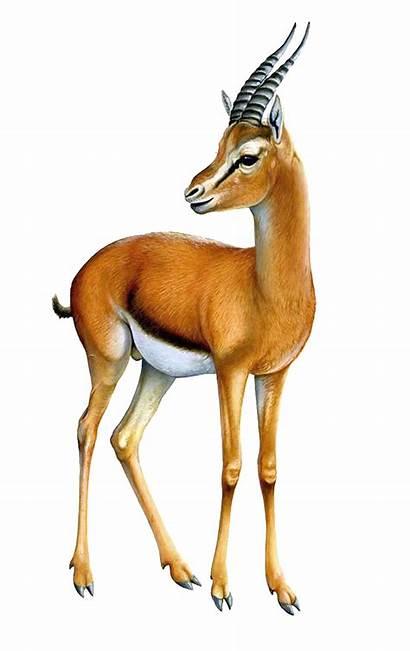 Gazelle Transparent Arabian Clipart Springbok Antelope Animal