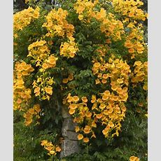 Gold Campsis Trumpet Vine  Set Of Two  Daily Deals For
