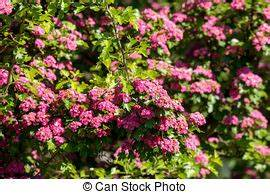 Rosa Blüten Baum : rosa wei dorn baum bl hen crataegus rosa sch ne wei dorn name senkrecht natur ~ Yasmunasinghe.com Haus und Dekorationen