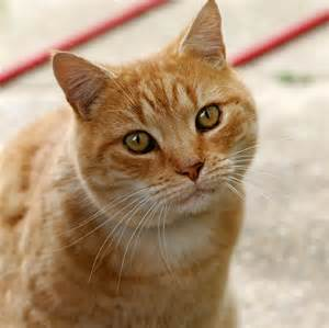 what of cats does cat wiktionary