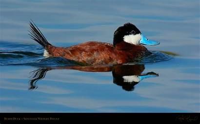 Ducks Ruddy Wildlife Geese 16x9 Duck Refuge