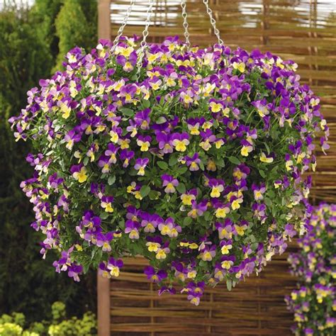 hanging basket flowers viola cornuta endurio mixed f1 hybrid horned violet horned pansy hardy perennial winter