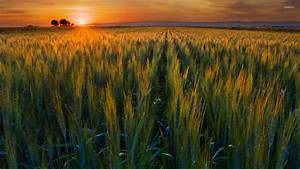 Green wheat field in the sunset wallpaper - Nature ...
