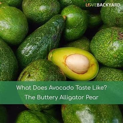 Avocado Does Taste Pear Alligator Fruit Buttery
