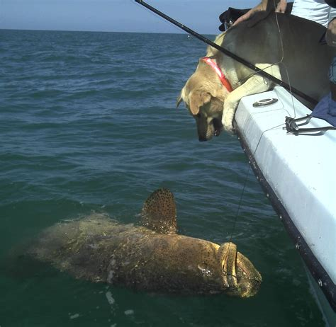 goliath grouper florida fishing captiva state workshops sanibel fwc conservation throughout commission hosting several wildlife starting fish july hank report
