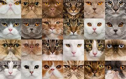 Cats Collage Different Breeds Cat Animals Muzzle
