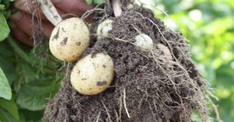 cuisiner les pommes de terre de noirmoutier pommes de terres primeur de noirmoutier ma p 39 tite cuisine