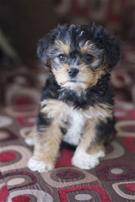 do yorkie poos shed everyone needs a yorkie poo like my obi for the home
