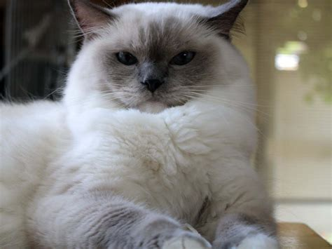 Ragdoll Cat Personality, Characteristics And Pictures