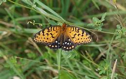 Butterflies are disappearing out west: climate change is to blame