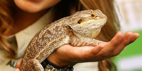 pet lizard pet reptiles and salmonella risk why you shouldn t own a pet reptile